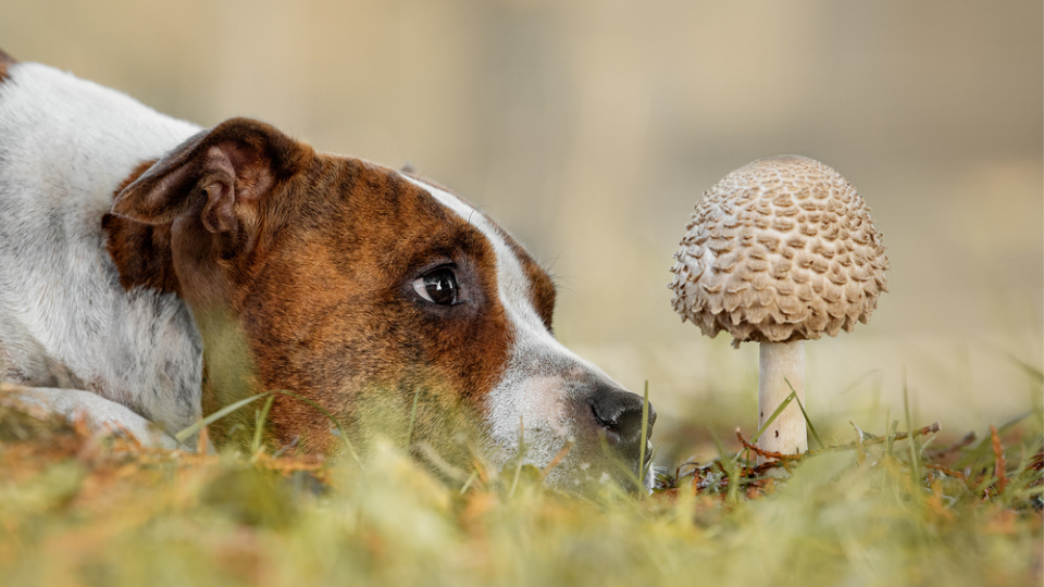 dog looking at a wild mushroom